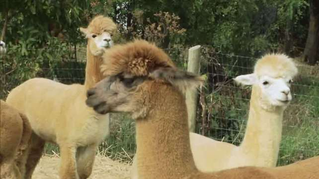 Alpacas, a Climbing Adventure, and Kentucky By Design