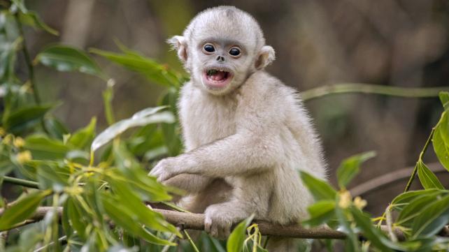 Mystery Monkeys of Shangri-La